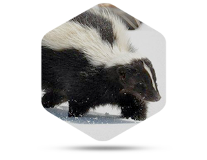 Reasons for Skunk Removal in Reynoldsburg